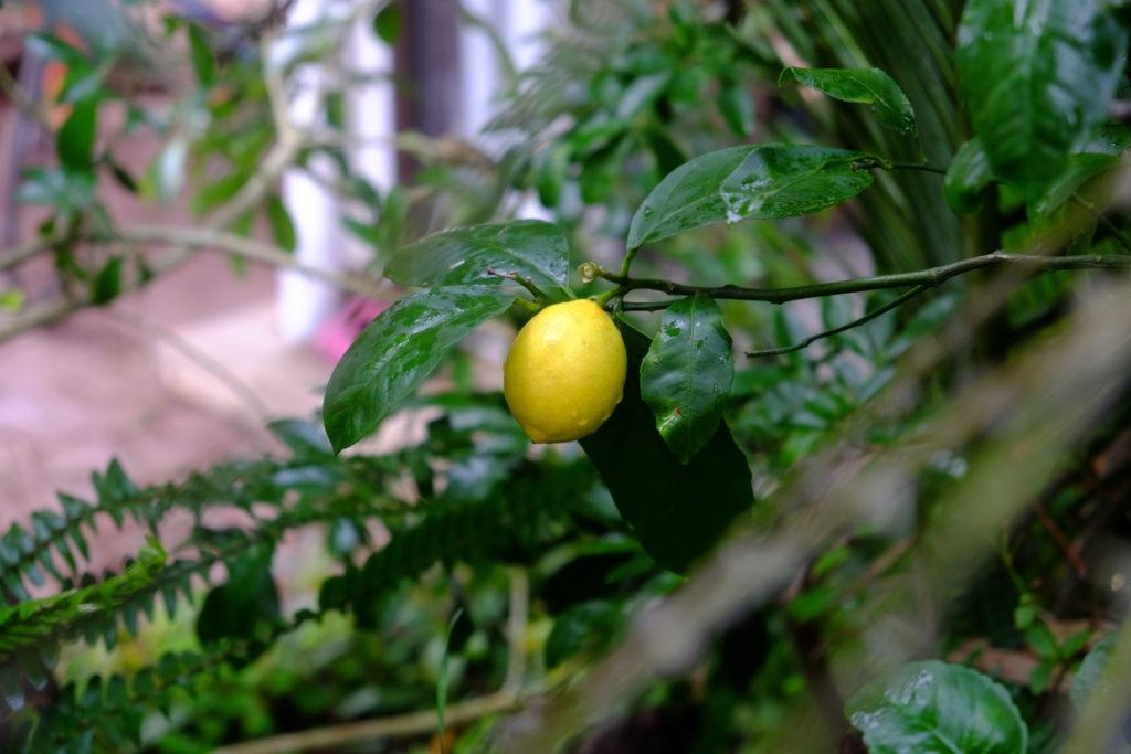 citrónek