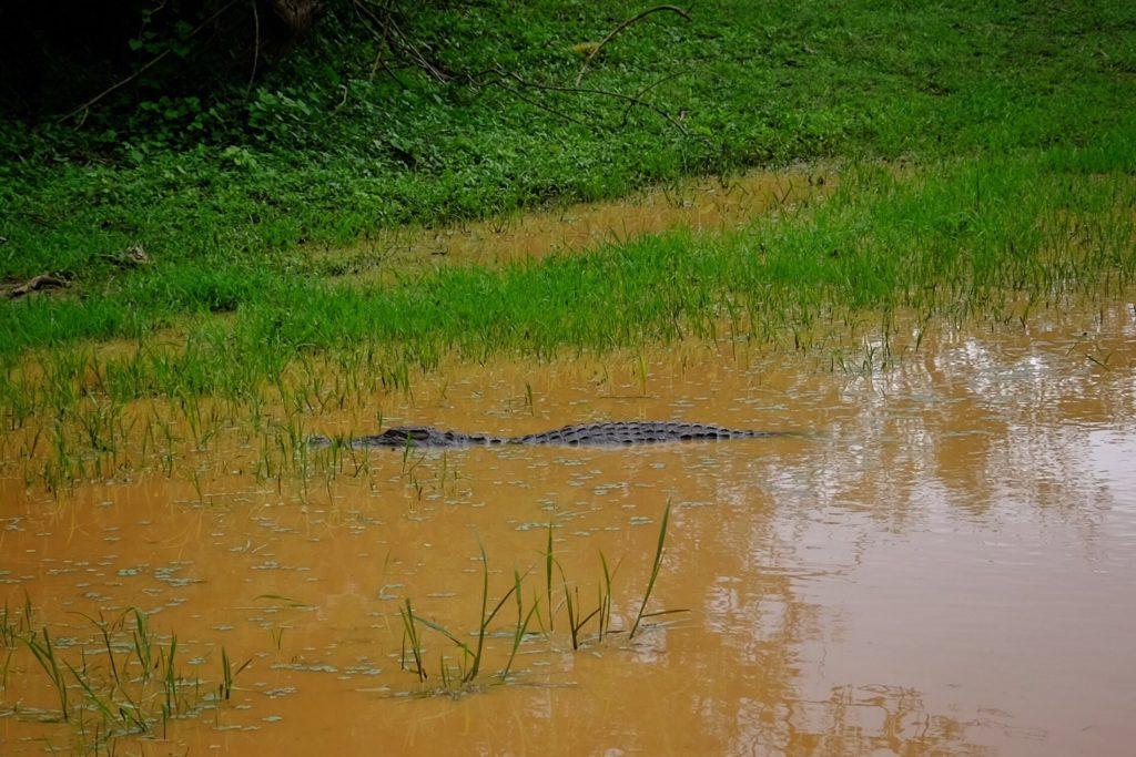 sladkovodní krokodýl