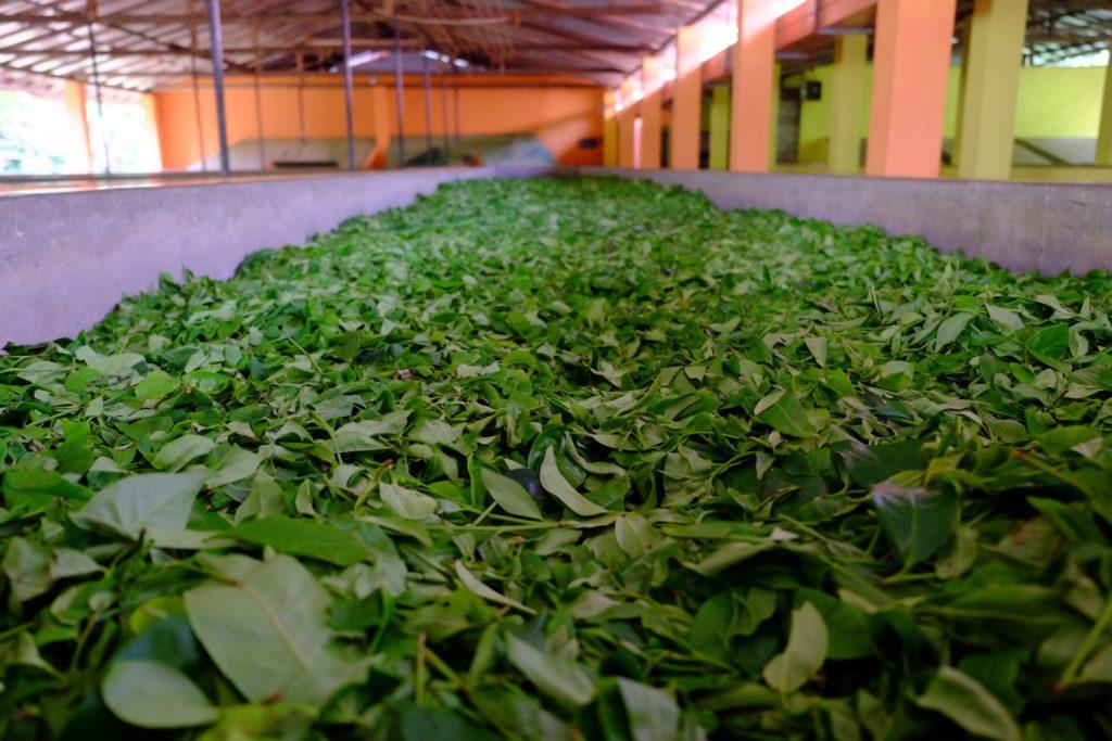 sušení čajových listů